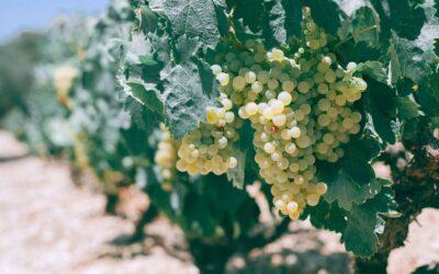 ¿Cómo son los vinos elaborados con airén?
